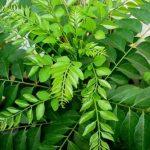 curry leaf